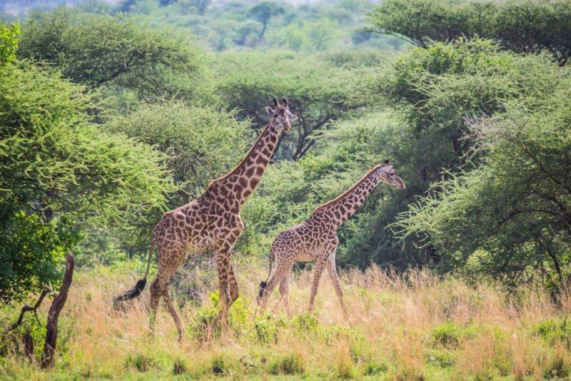 Giraffes in Serengeti