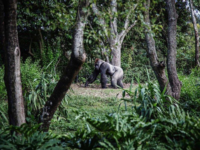 A silverback mountain gorilla seen walking through the trees, gorilla trekking in Rwanda vs in Uganda