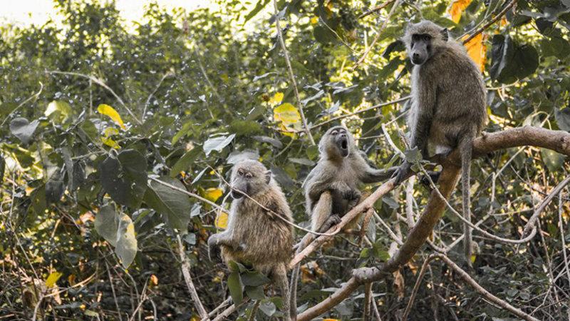 Baboons Lake Manyara