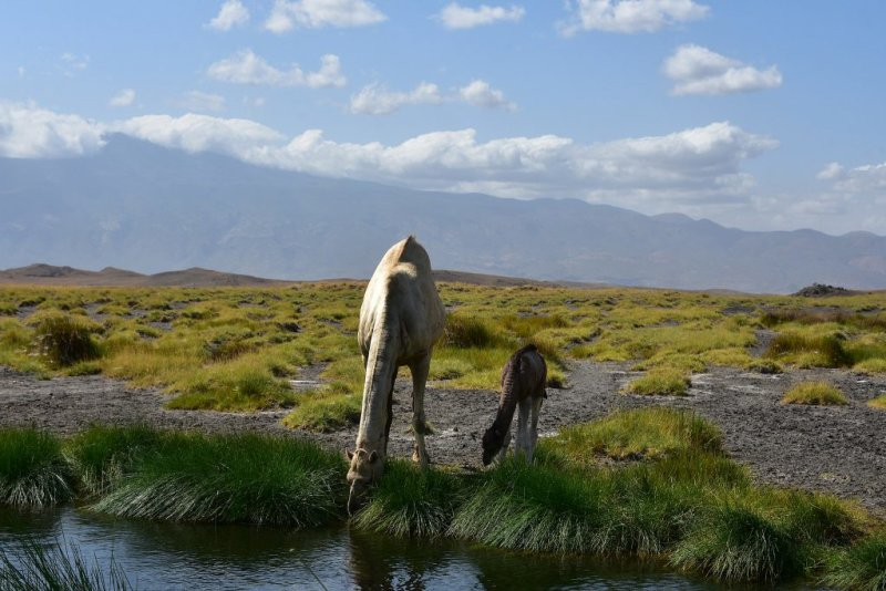 Camels drinking from Lake Natron