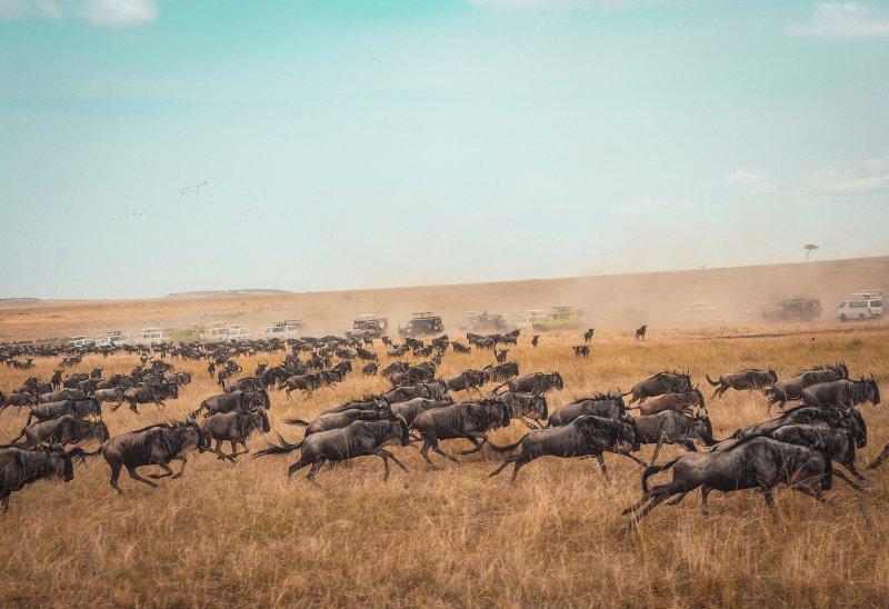 Great Migration wildebeests running