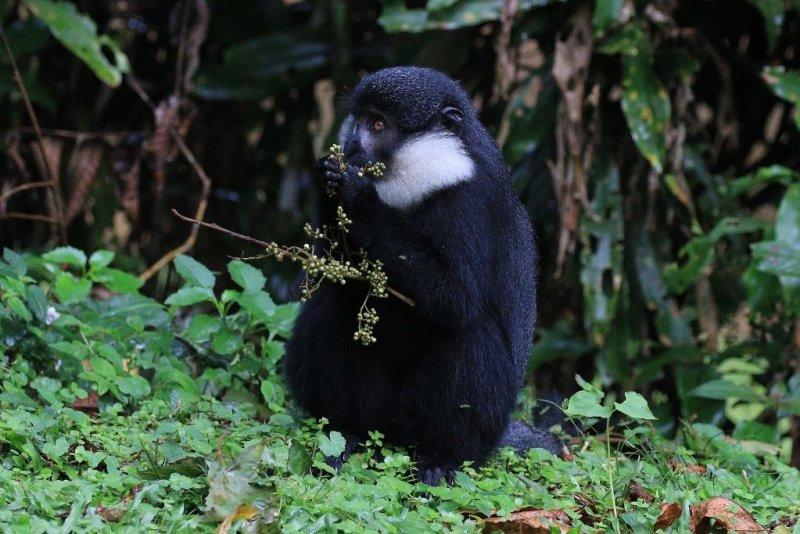 Mountain monkey, Bwindi Impenetrable National Park, Uganda