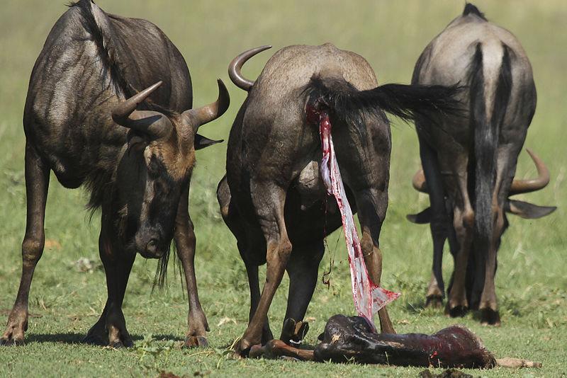 Wildebeest birth