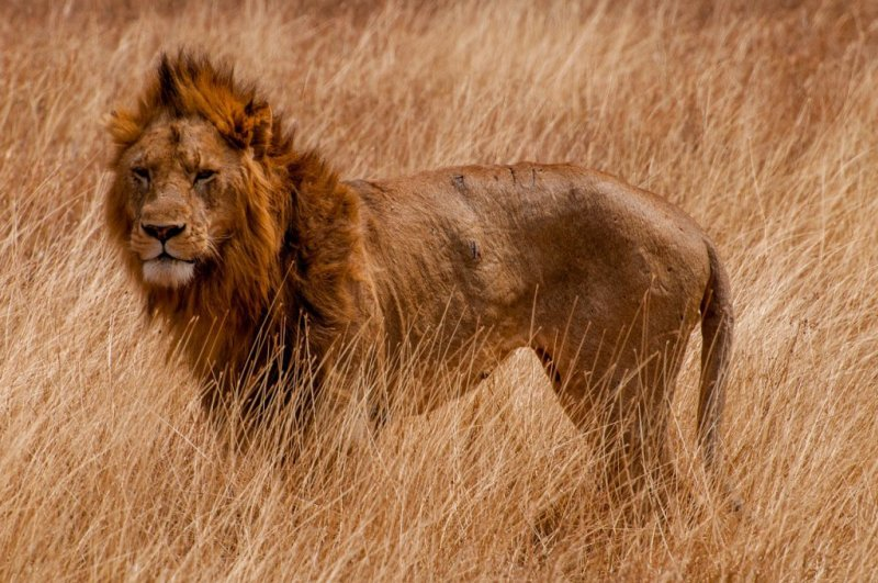Male lion in tall brown grass
