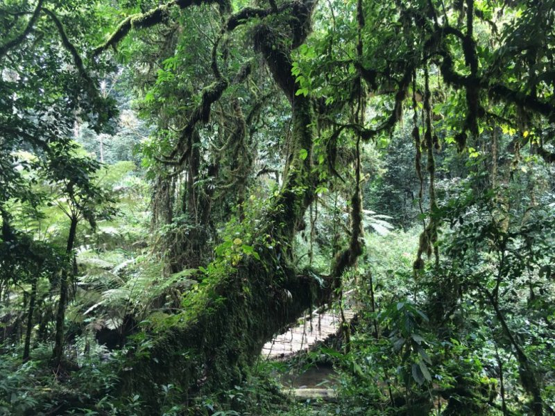 Walkway through thick forest of Bwindi Impenetrable National Park