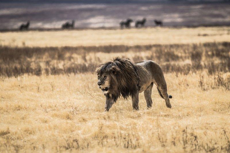 dark-maned lion, Ngorongoro Crater safari