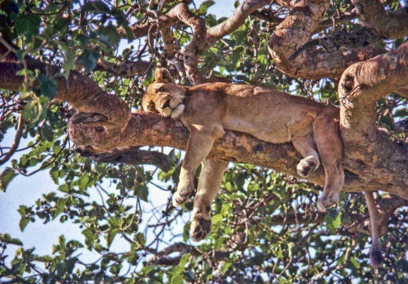 lioness in tree in Uganda