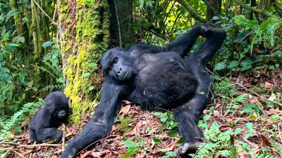 Gorilla trekking is safe and the gorillas are  habituated. In fact they can be absolute clowns!