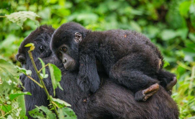 Gorilla infant on mother's back, Bwindi National Park, Uganda