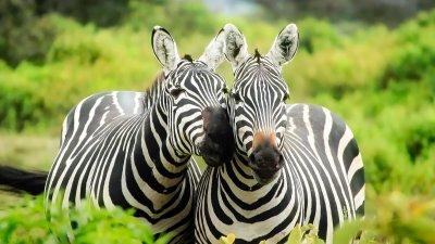 Two zebras in a lush bushy landscape