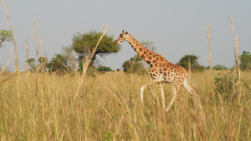 Rothschild's giraffe in long grass