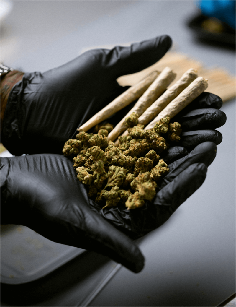 Gloved hands holding marijuana and joints