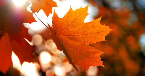 featured - Maple Leaves