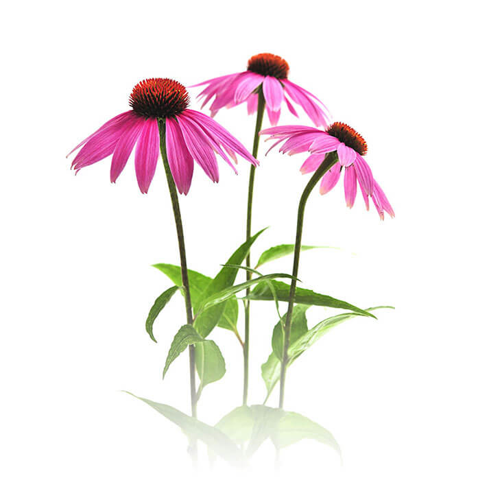 ingredient-echinacea.jpg