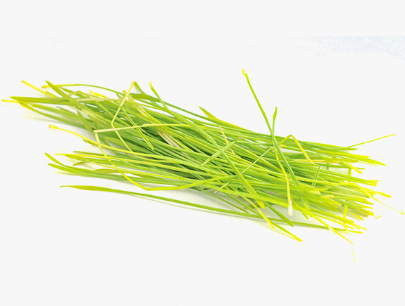 Barley Grass from Germany