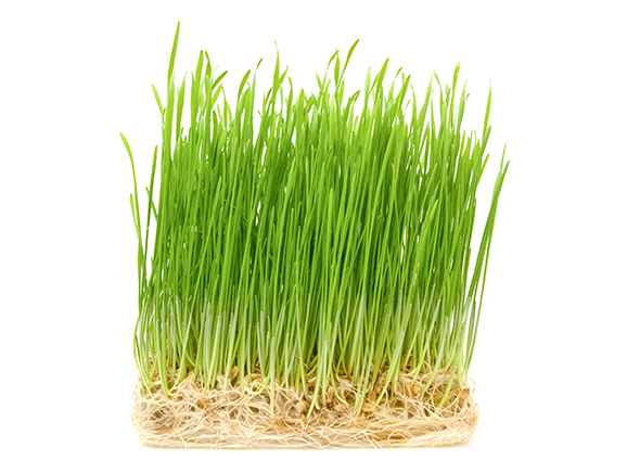 Wheatgrass from Germany