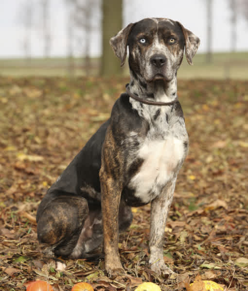 10 Cool Facts About Catahoula Leopard