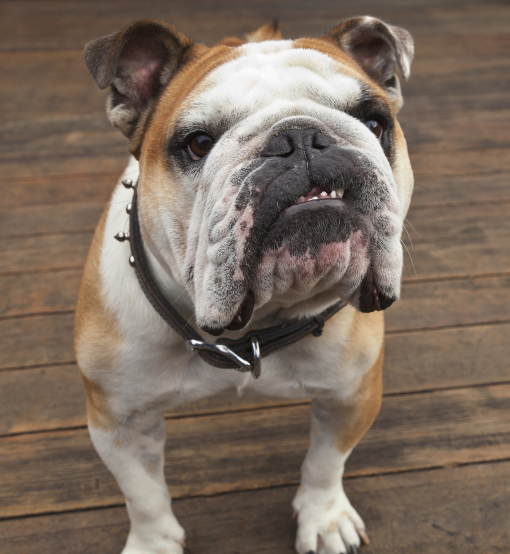 Image result for two angry bulldogs