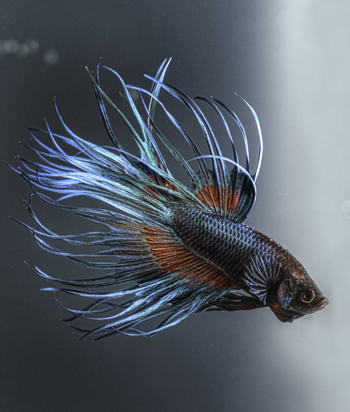10 Cool Facts About Betta Fish   Mom.com