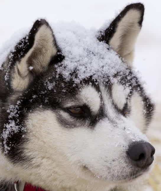 siberian-husky-snow - крупный план ездовой собаки, отдыхающей на контрольно-пропускном пункте озера Фингер во время Iditarod 2012.