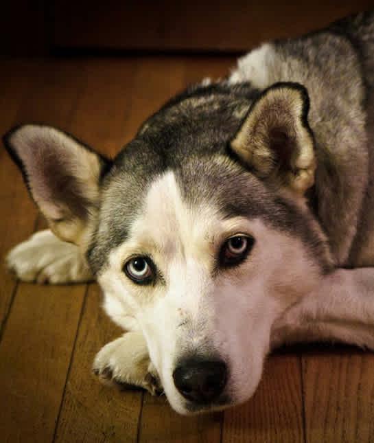 сибирская лайка - Портрет сибирской лайки, отдыхающей дома
