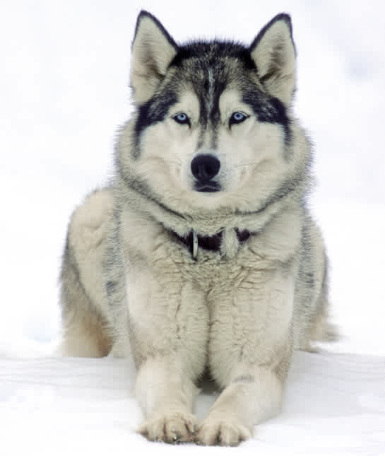 siberian-husky-in-snow - сибирский хаски, лежащий на снегу, выглядит бдительным и ждет