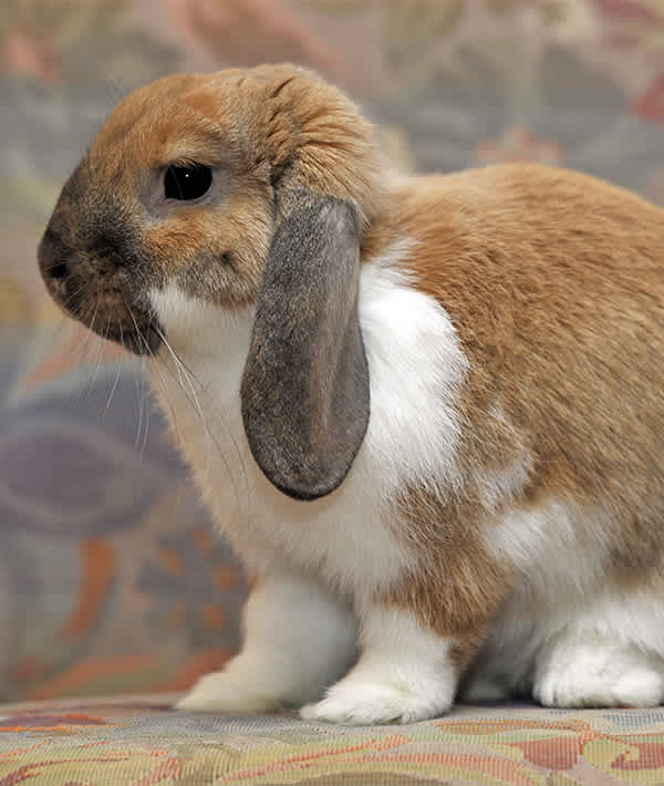 10 Popular Pet Rabbit Breeds Mom Com