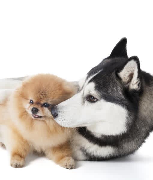 10 Spitz Dog Breeds Mom Com