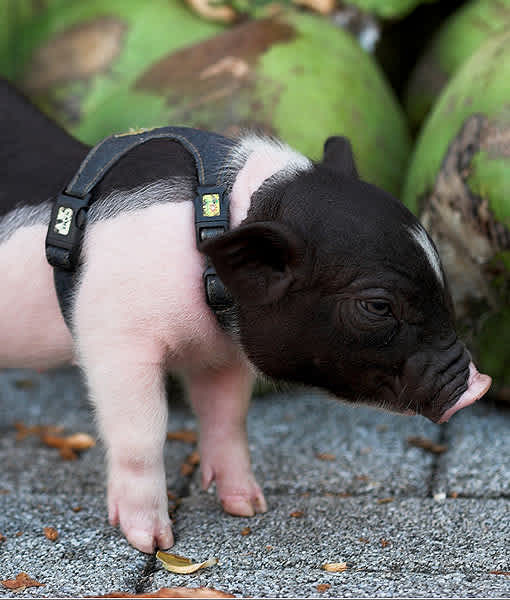 10 Tips For Owning a Teacup Pig