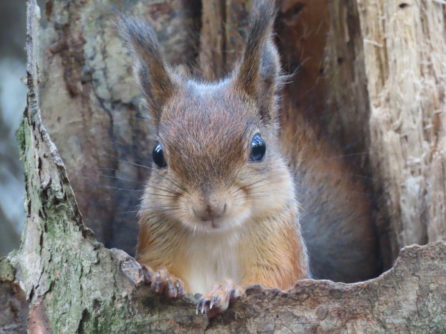 Orava kurkistaa puunrungon sisältä