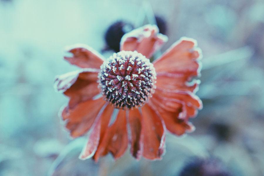 Jään peitossa oleva kukkanen lumessa