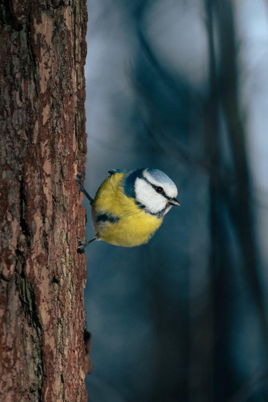Sinitiainen kiinni puussa sivuttain