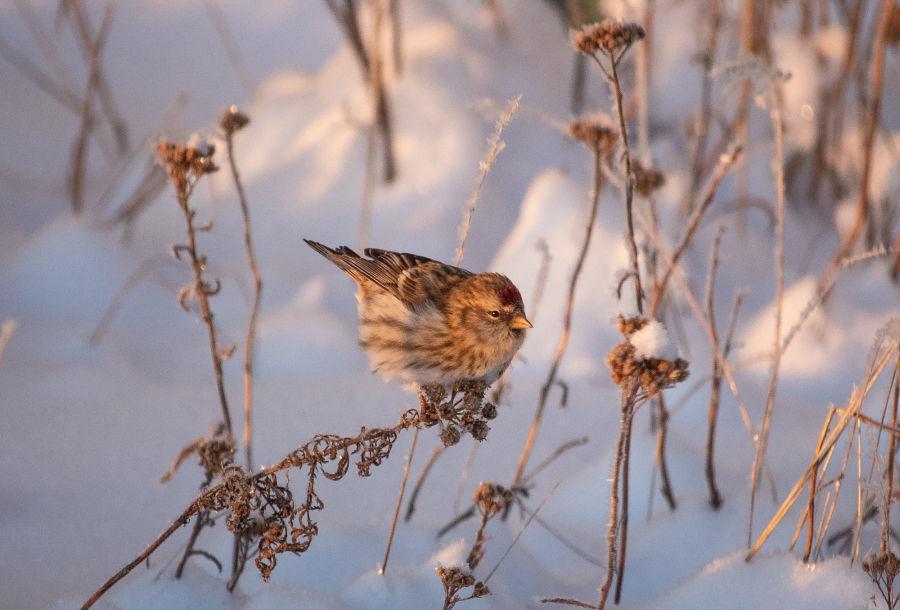 Lintulaji Urpiainen istumassa kasvin päällä