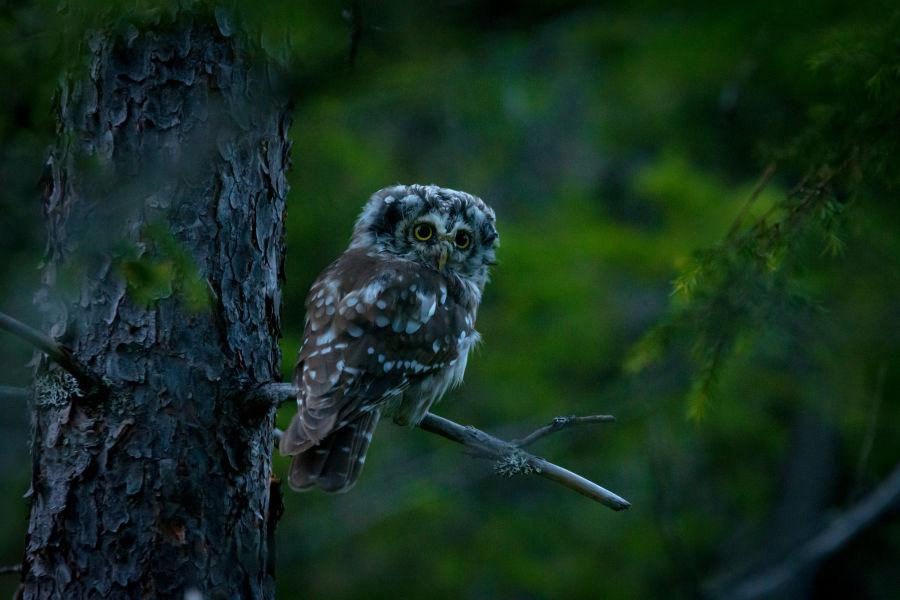 Helmipöllön poikanen oksalla