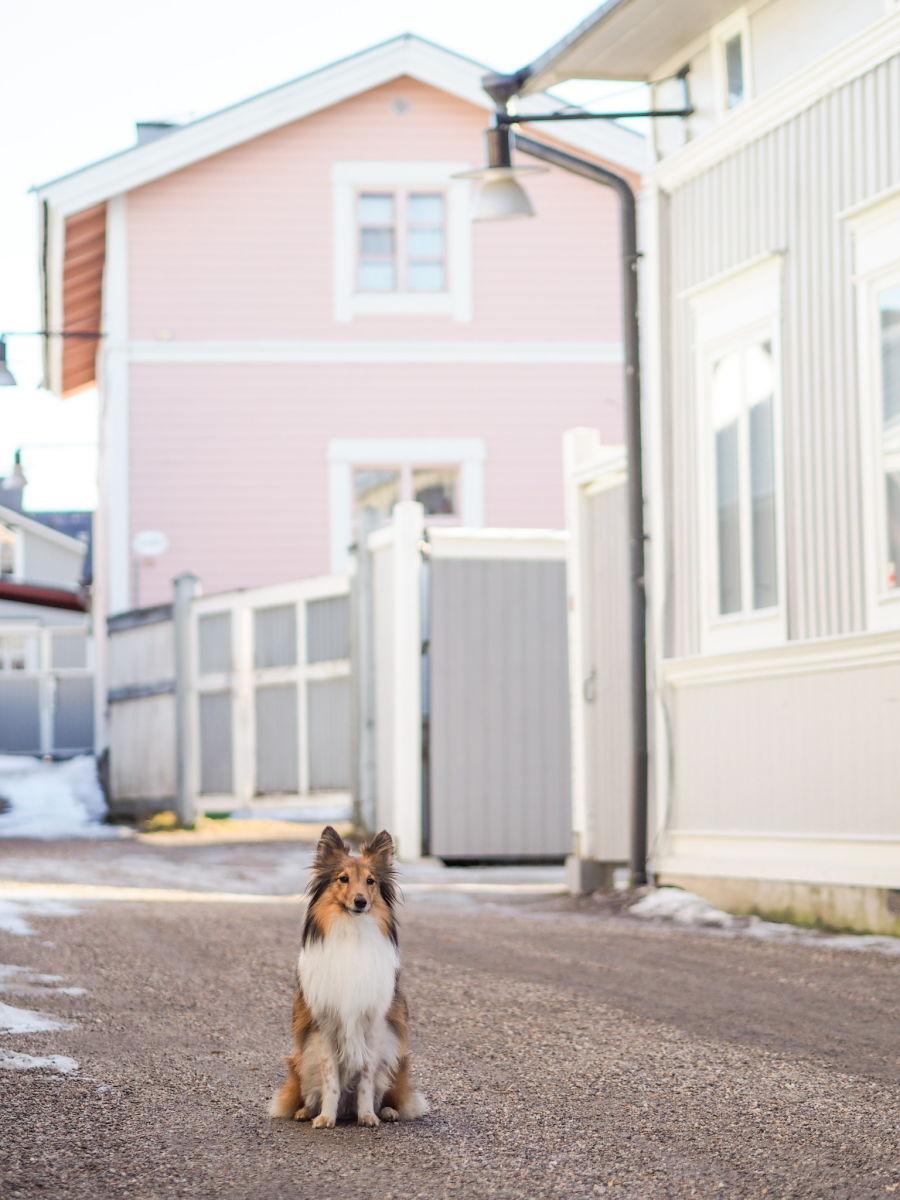 Koira istuu kiltisti tiellä talojen välissä