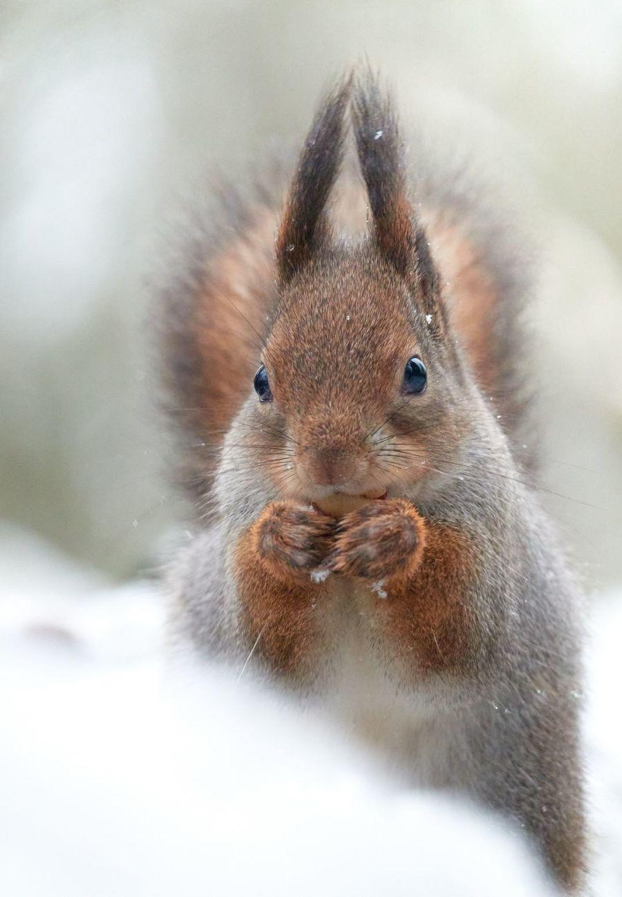 Orava syömässä pähkinää lumihangessa