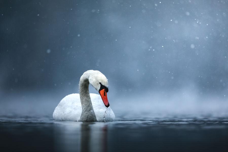 Kyhmyjoutsen kellumassa järvessä epäselvien lumihiutaleiden tehdessä kuvasta maagisen