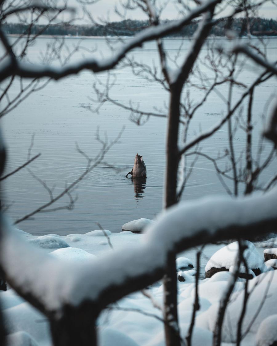 Sorsa sukeltamassa pää edellä järveen, kuvattu oksien takaa rannalta.