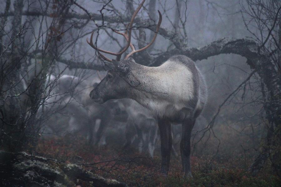 Poro sumuisessa metsässä