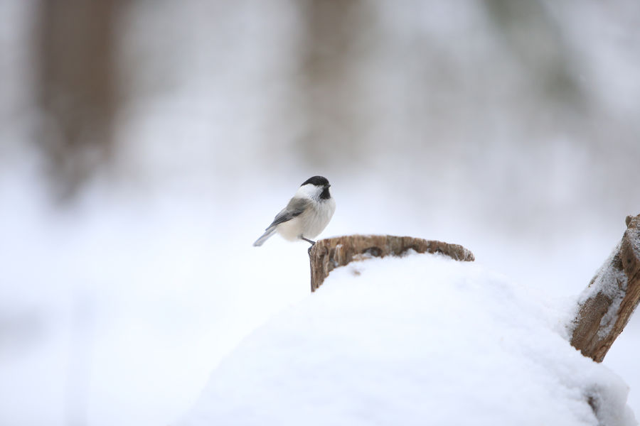 Hömötiainen seisomassa kannon päällä lumisessa luonnossa