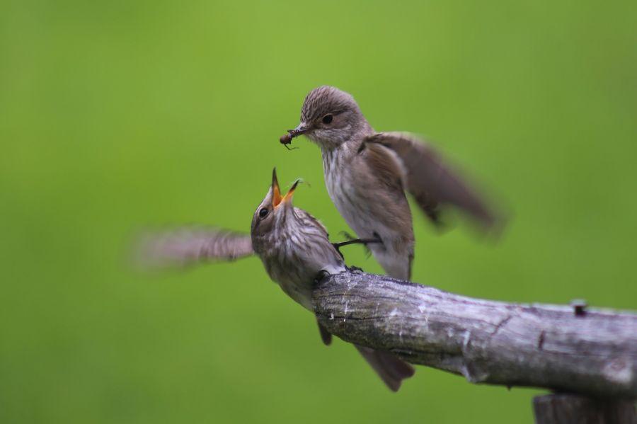 Lintu ruokkii toista lintua oksan päällä