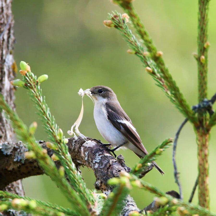 Linnulla on nokassa kaarnaa pesänrakennusta varten