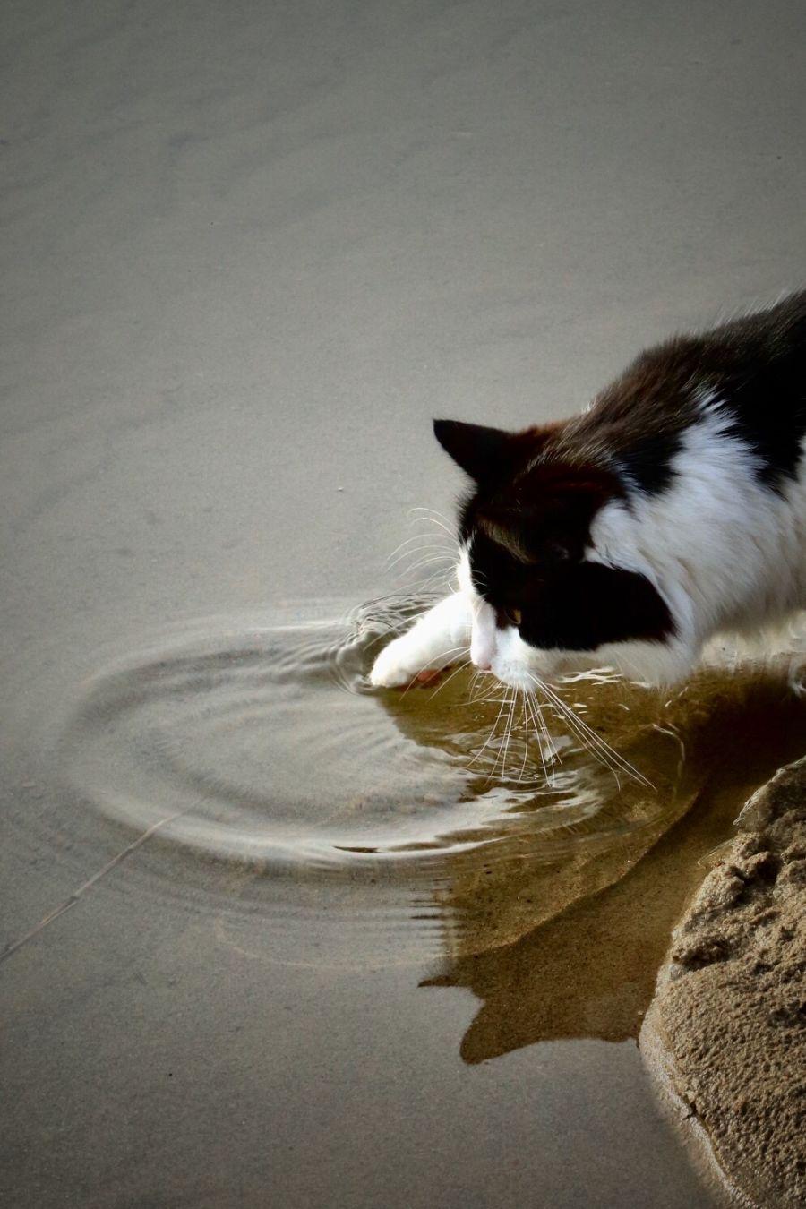 Kissa pistää tassunsa veteen