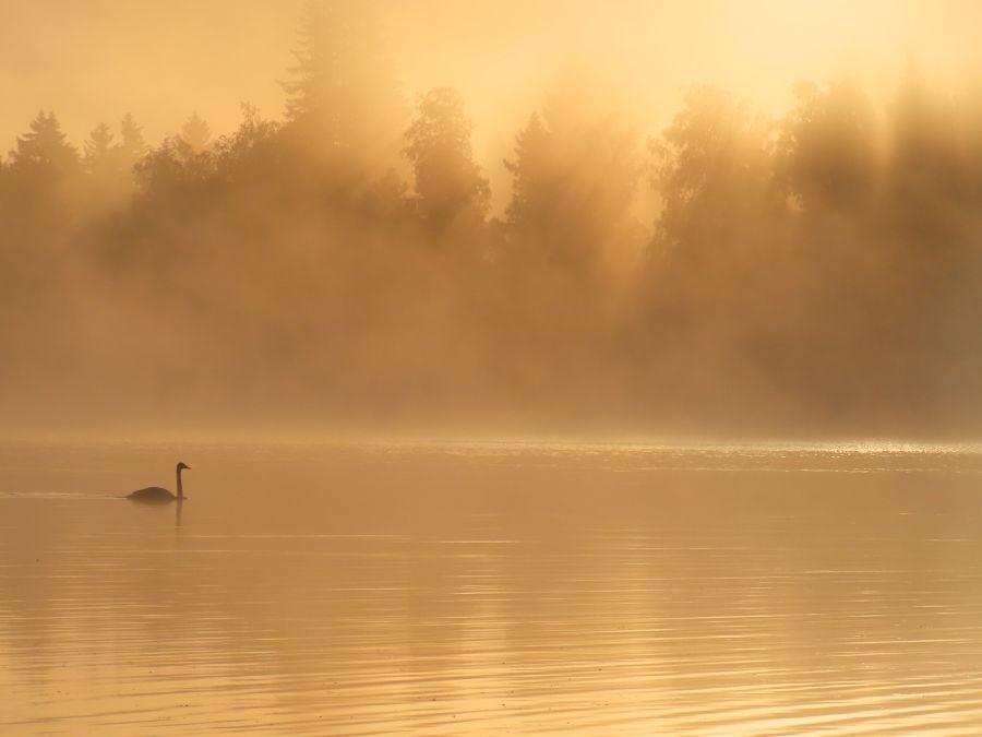 Joutsen sumuisella järvellä kultaisessa hetkessä