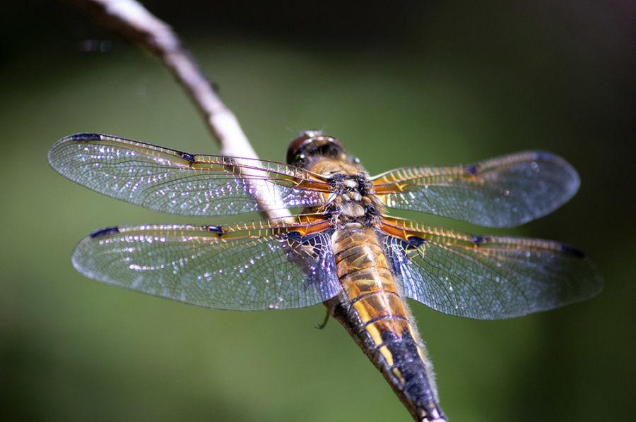 Kuva sudenkorennosta voimakkaalla JPG pakkauksella.