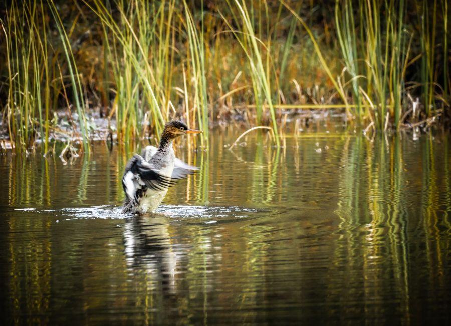 Naaraspuolinen tukkakoskelo lähtemässä lentoon vedestä