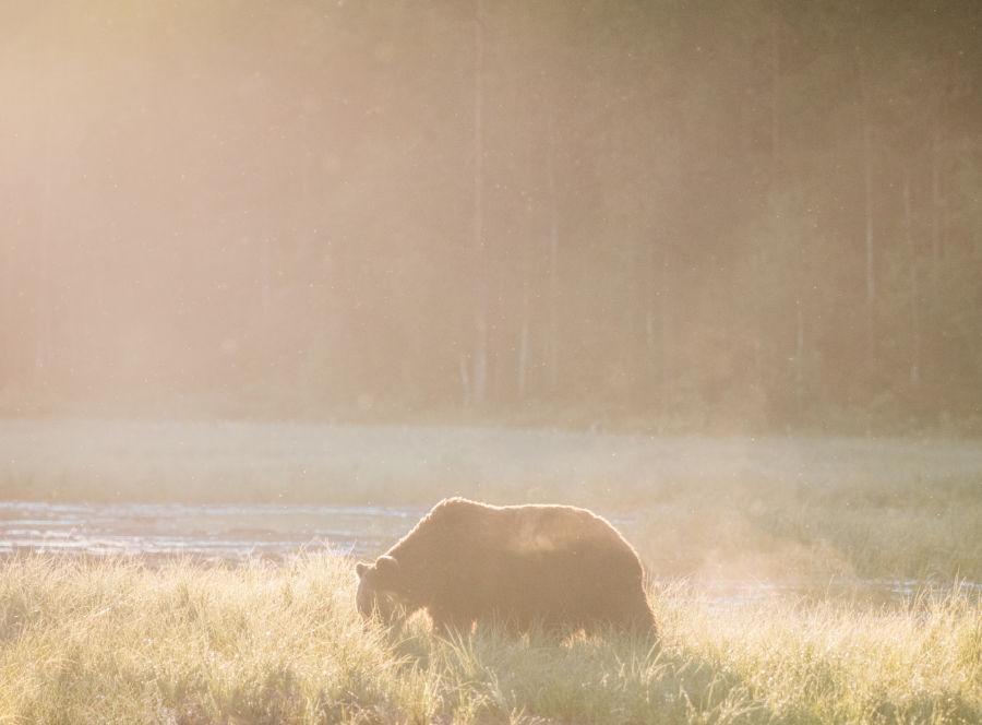 Karhu pellolla sumussa