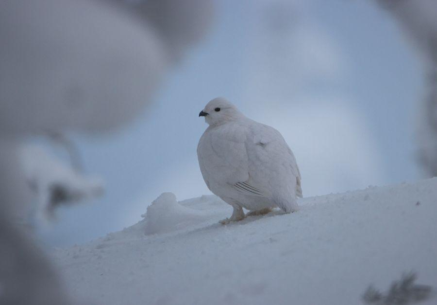 Riekko -lintu lumessa talvella