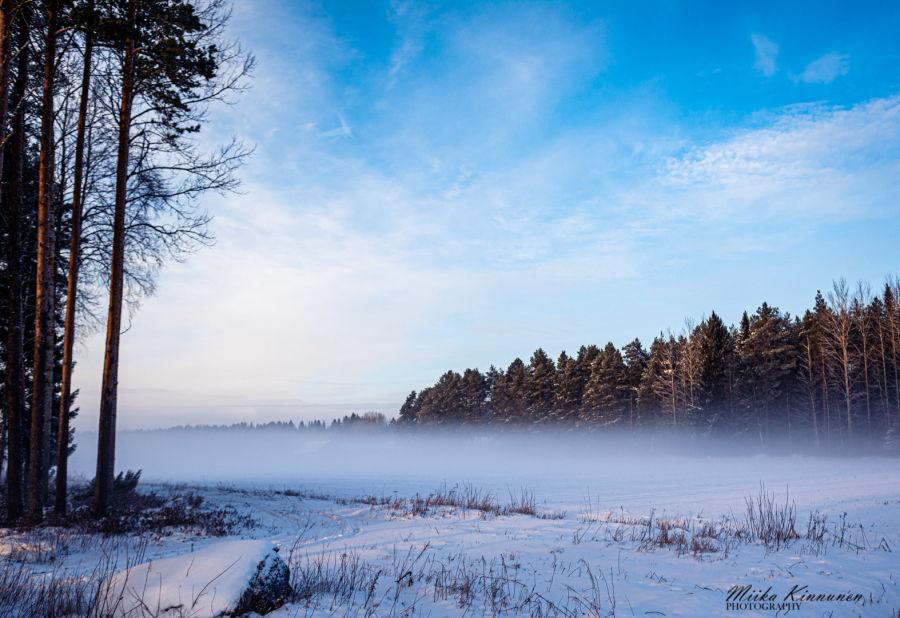Usvaa pellolla päiväsaikaan, metsä taustalla