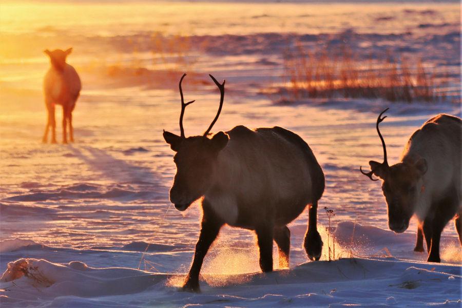 Poroja kävelemässä lumen päällä auringonlaskussa